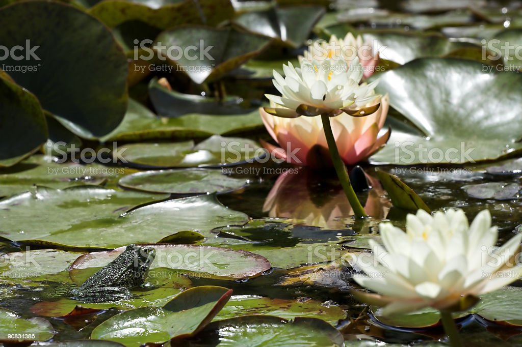 Prince in a pond royalty-free stock photo