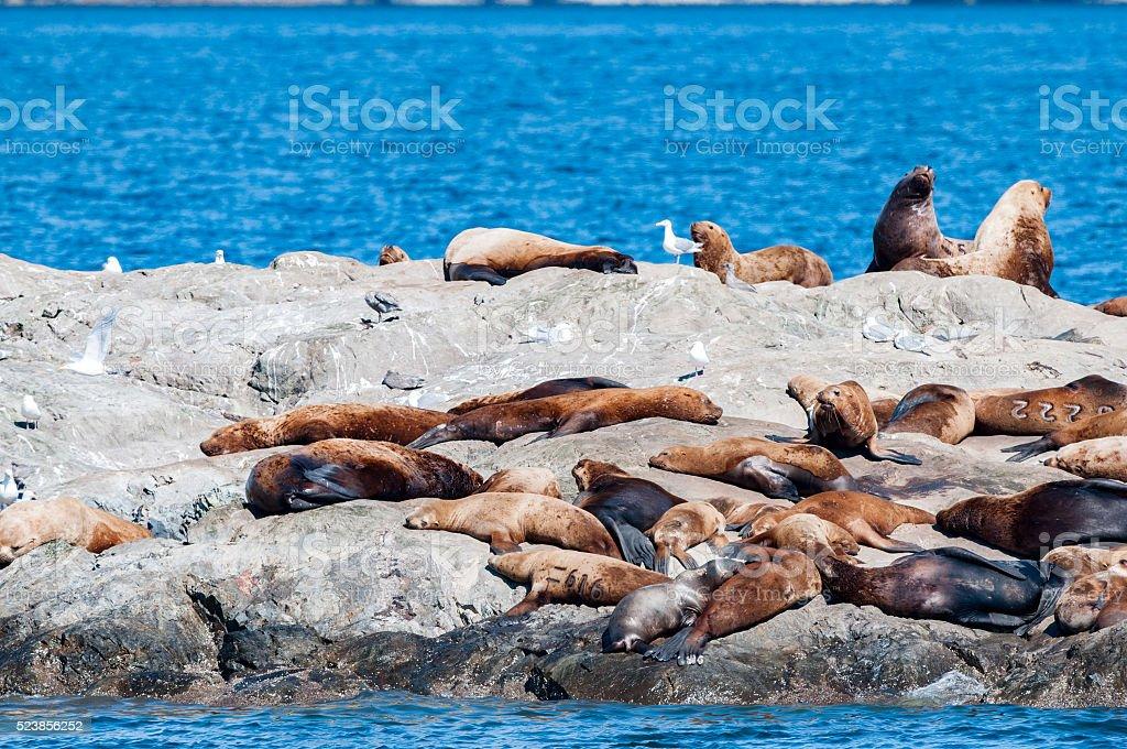 prince william sound alaska sea lion stock photo