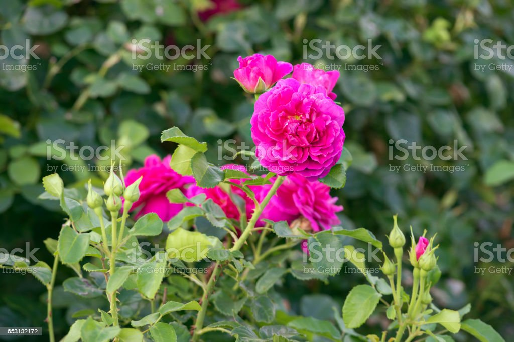 """Princess Anne"" pink rose stock photo"