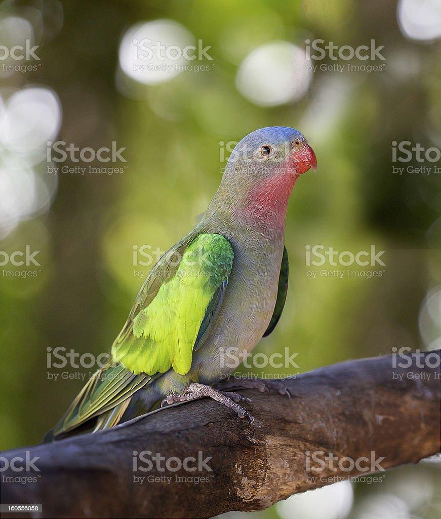 princess parakeet royalty-free stock photo