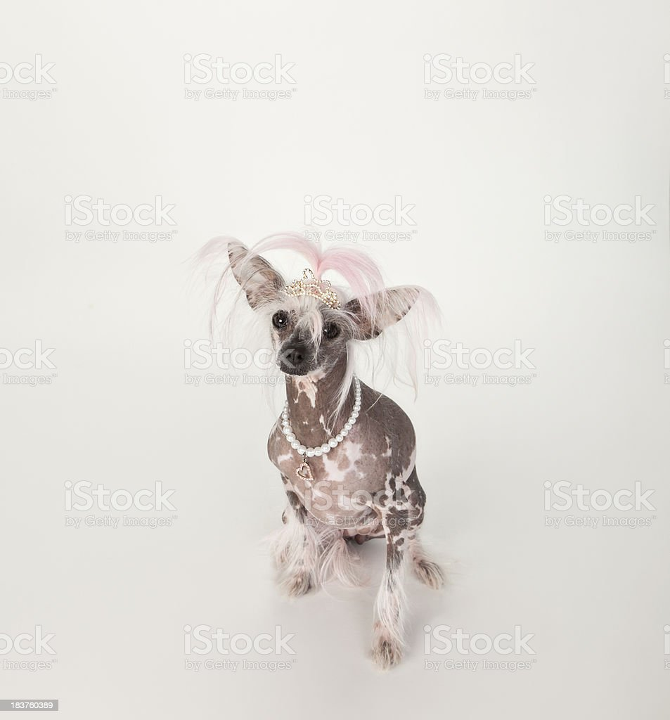 Princess Punk Rocker - Chinese Crested royalty-free stock photo