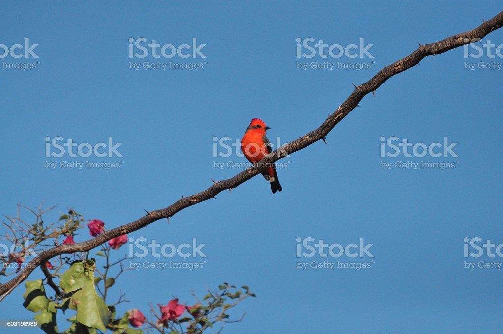 Principe do Pantanal bird perched on a branch stock photo