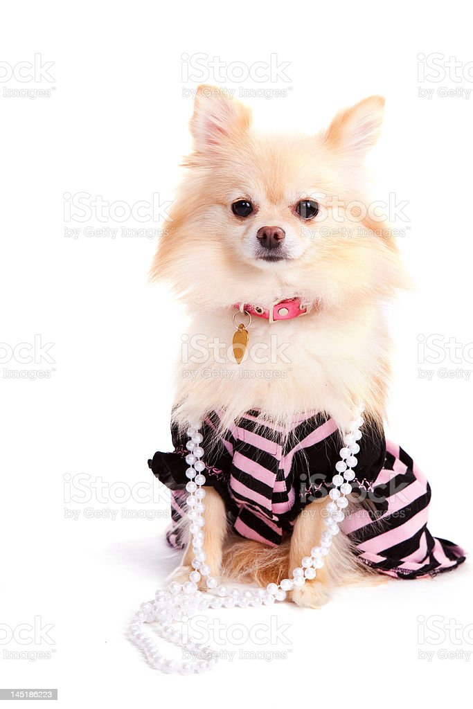Prissy Pup royalty-free stock photo