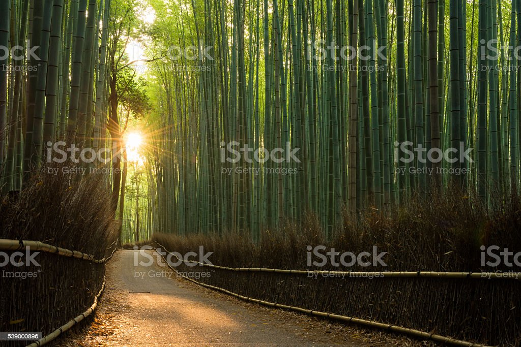 Pristine bamboo forest at sunrise stock photo