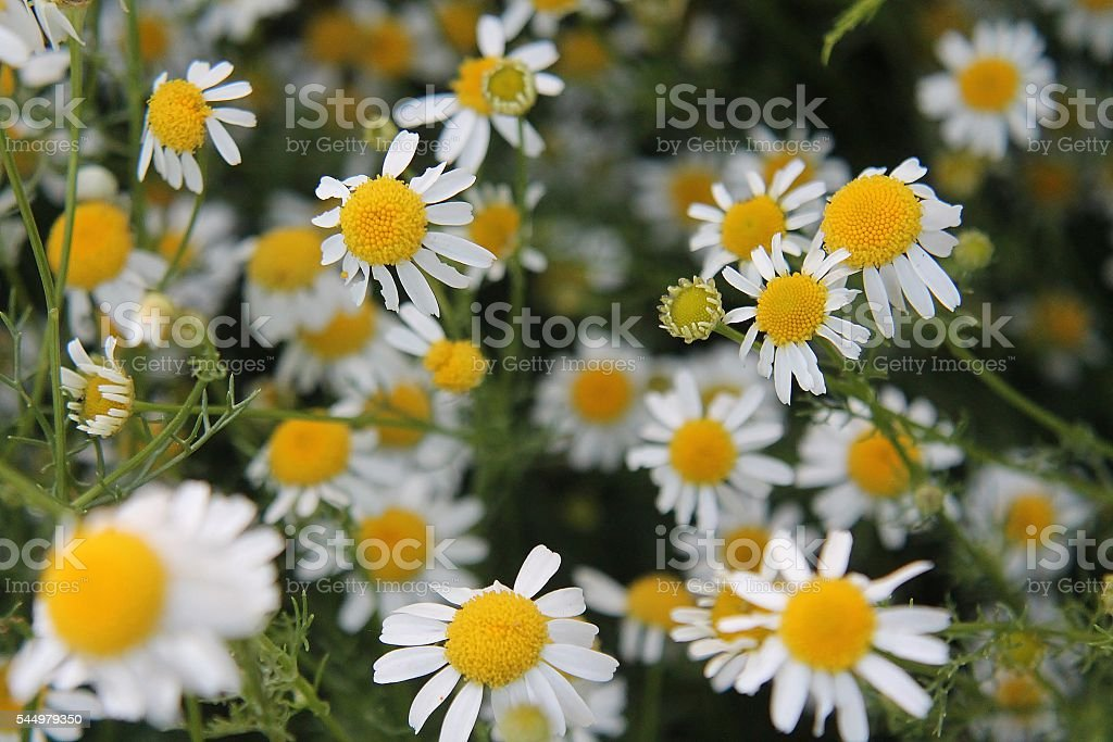 Pristine German Chamomile stock photo