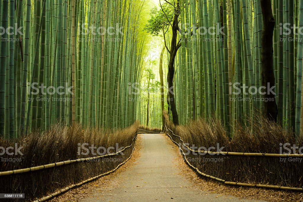 Pristine natural bamboo forest stock photo