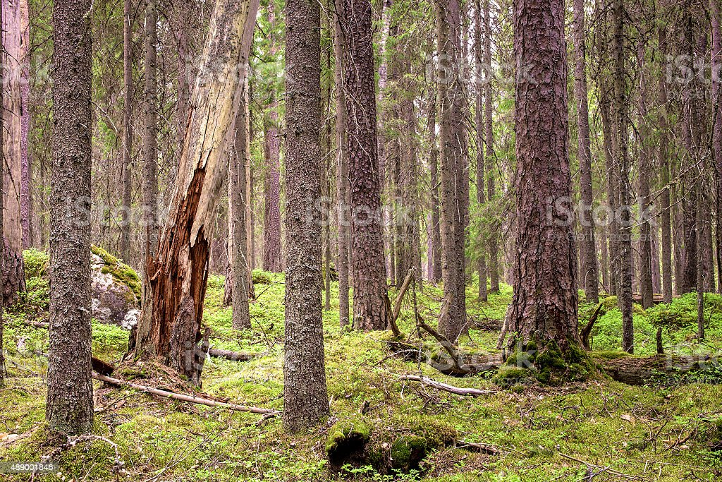 Pristine northern forest stock photo