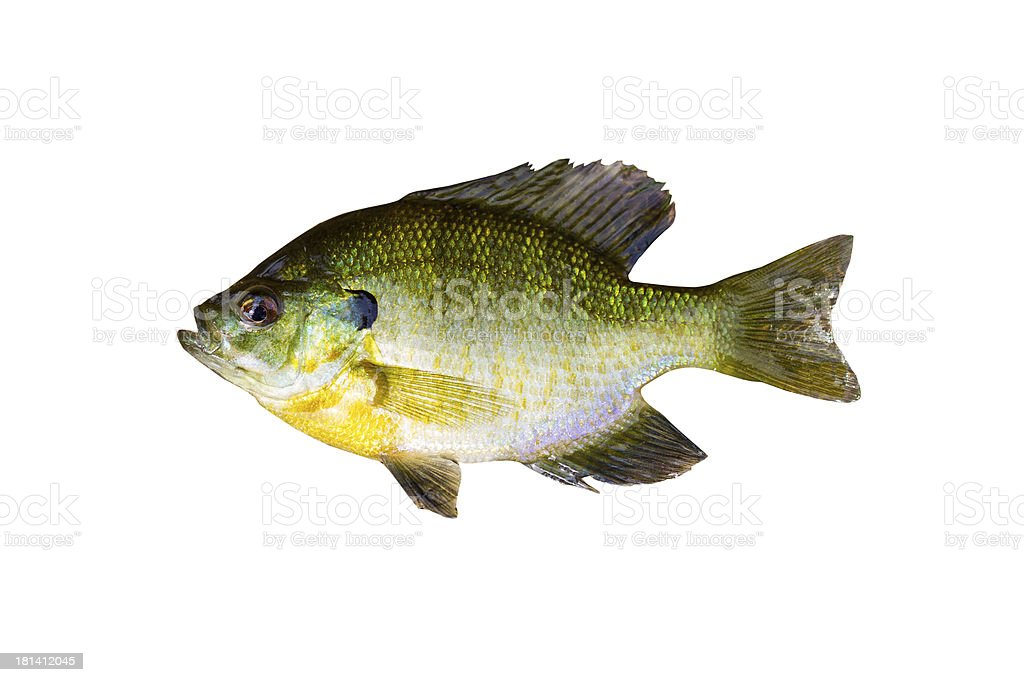 Pristine Sunfish on White stock photo