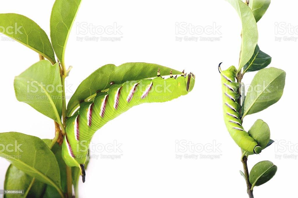 Privet hawk moth caterpillar (Sphinx ligustri) stock photo