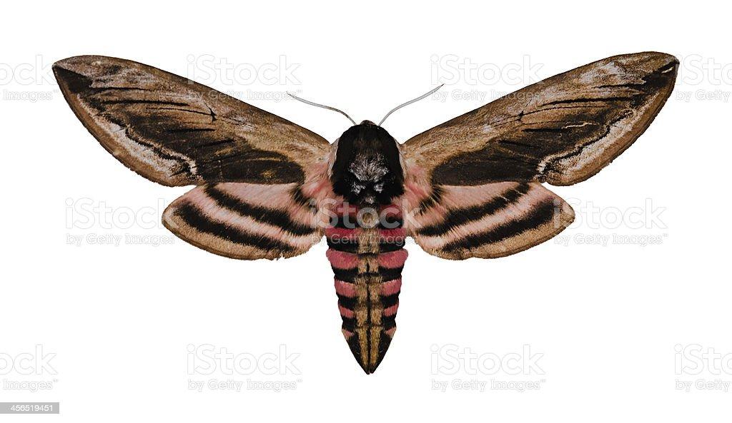 Privet Hawk Moth royalty-free stock photo