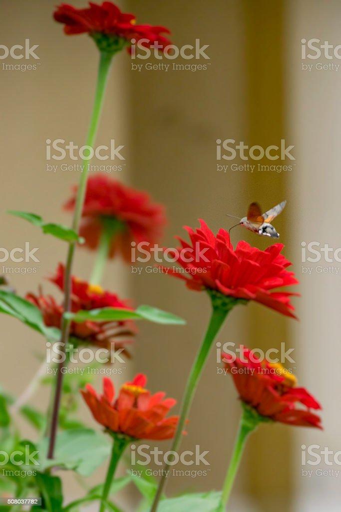 Privet Hawk Moth stock photo