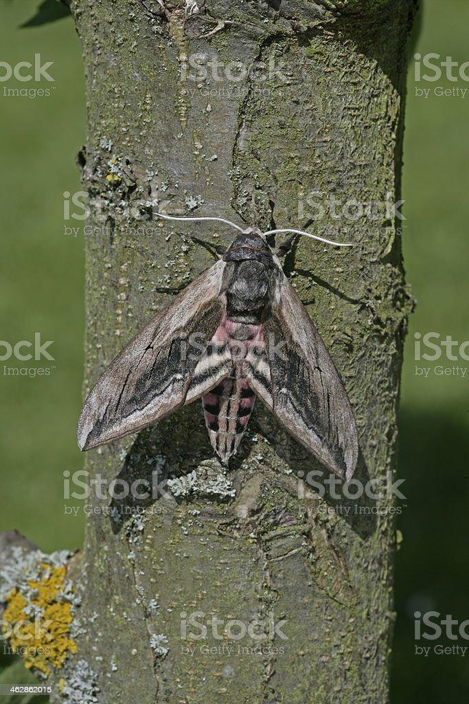 Privet hawk moth, Sphinx ligustri stock photo