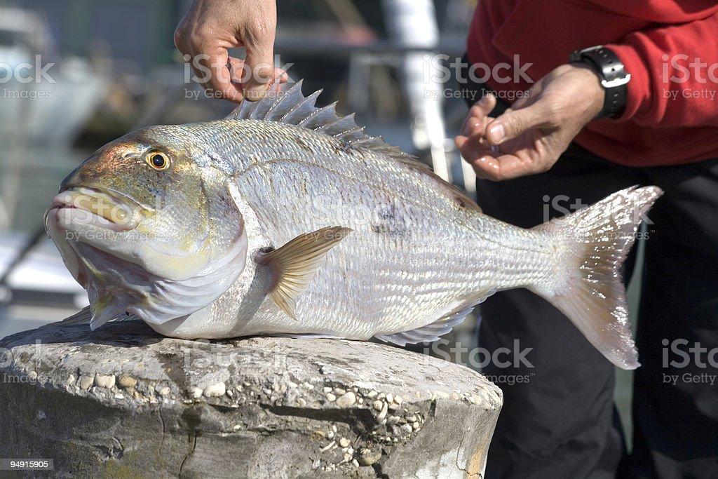prize dentex fish royalty-free stock photo