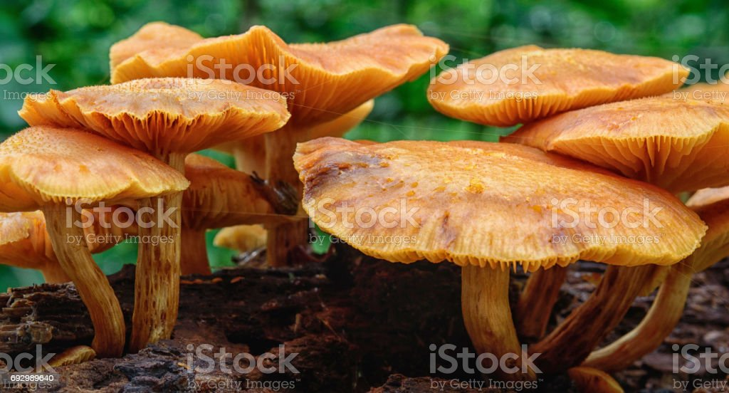 Probably omphalotus illudens. stock photo