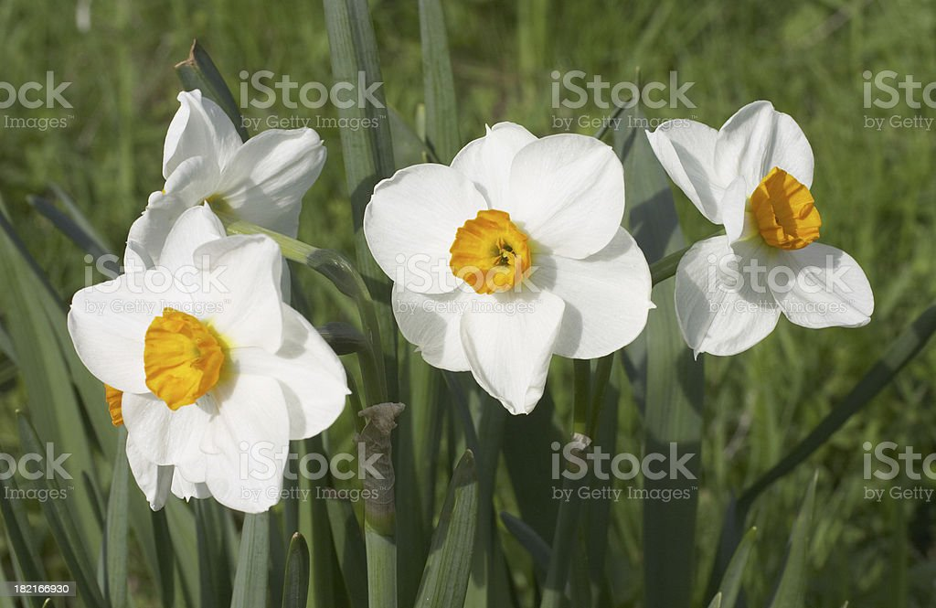 White flowers three narcissi daffodil family royalty-free stock photo