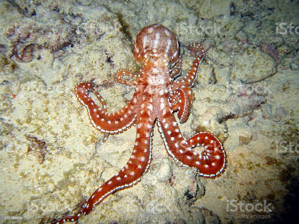 Probing Octopus royalty-free stock photo