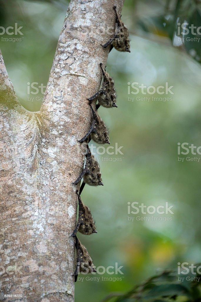 Proboscis bat stock photo