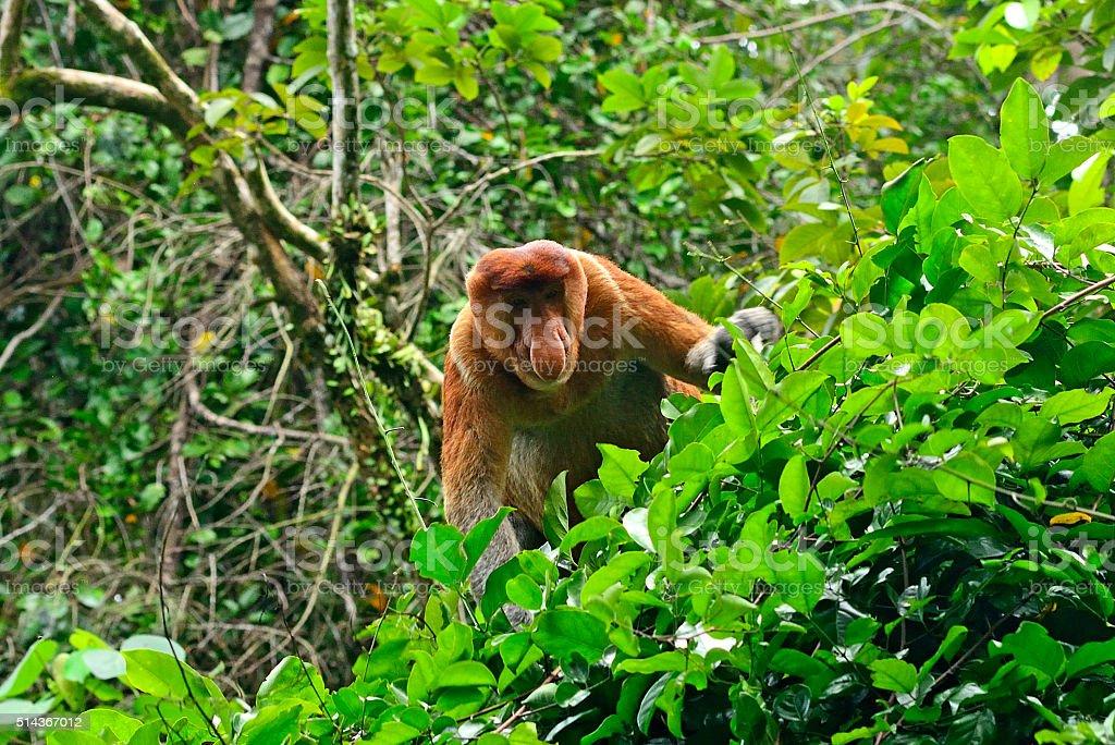 Proboscis monkey, Borneo, Malaysia stock photo