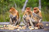 Proboscis Monkey (Nasalis larvatus) endemic  of Borneo