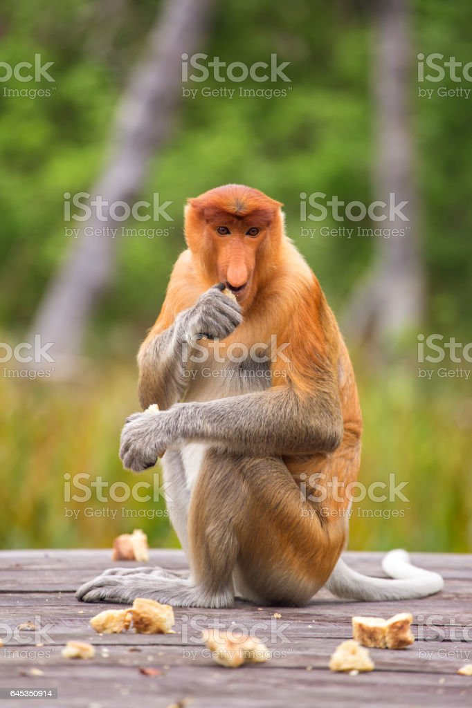 Proboscis Monkey (Nasalis larvatus) endemic of Borneo stock photo