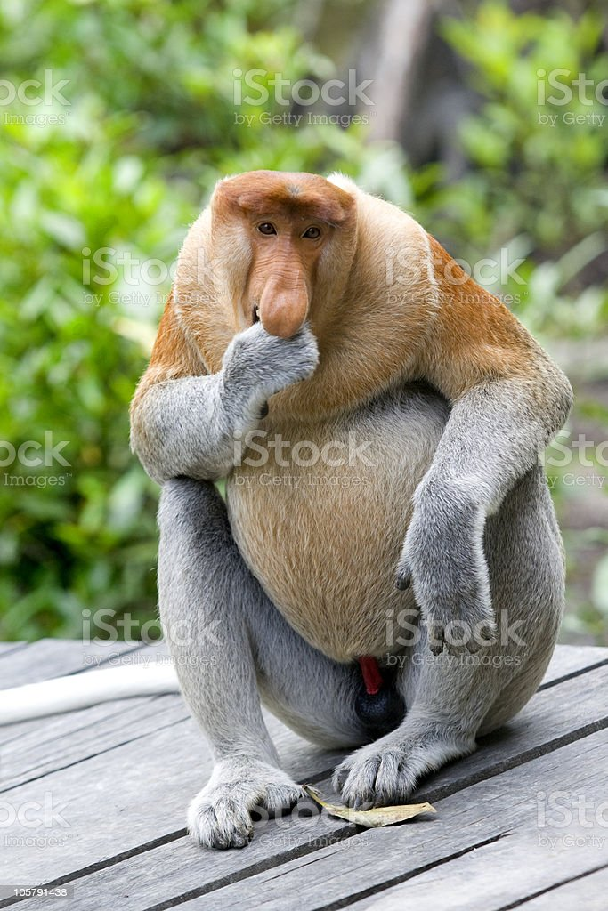 Proboscis monkey looking cheeky stock photo