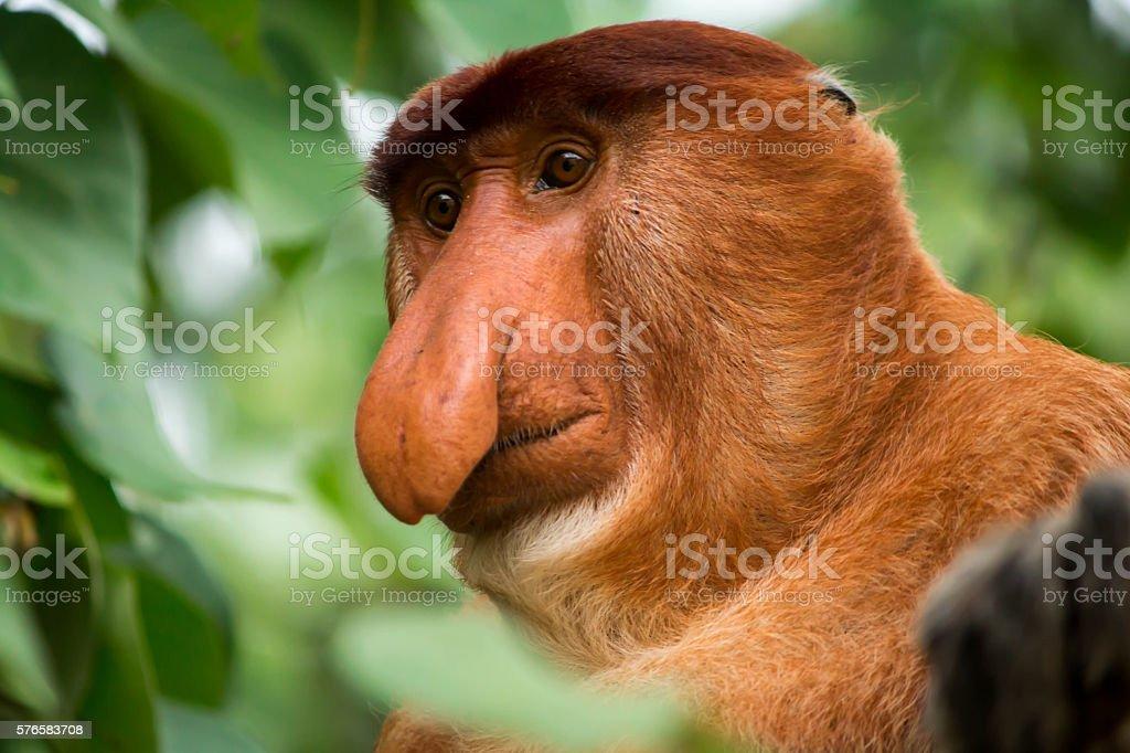 Proboscis Monkey looking down stock photo