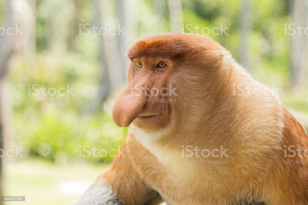 Proboscis monkey, male. stock photo