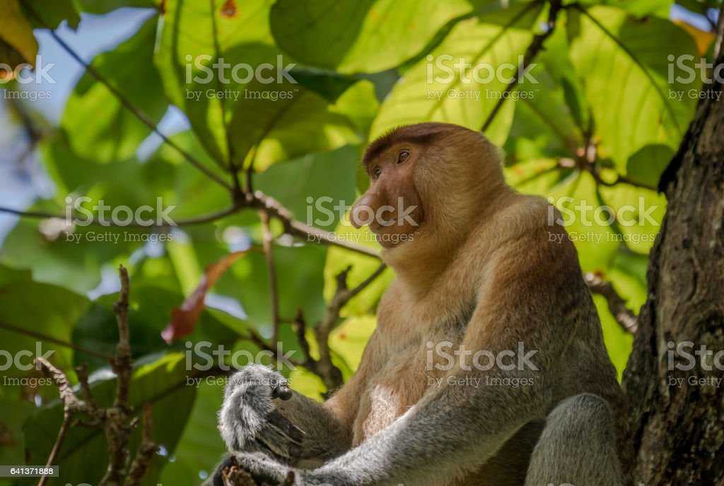 Proboscis Monkey - Nasalis larvatus - in tree in the wild jungles of Borneo. T stock photo