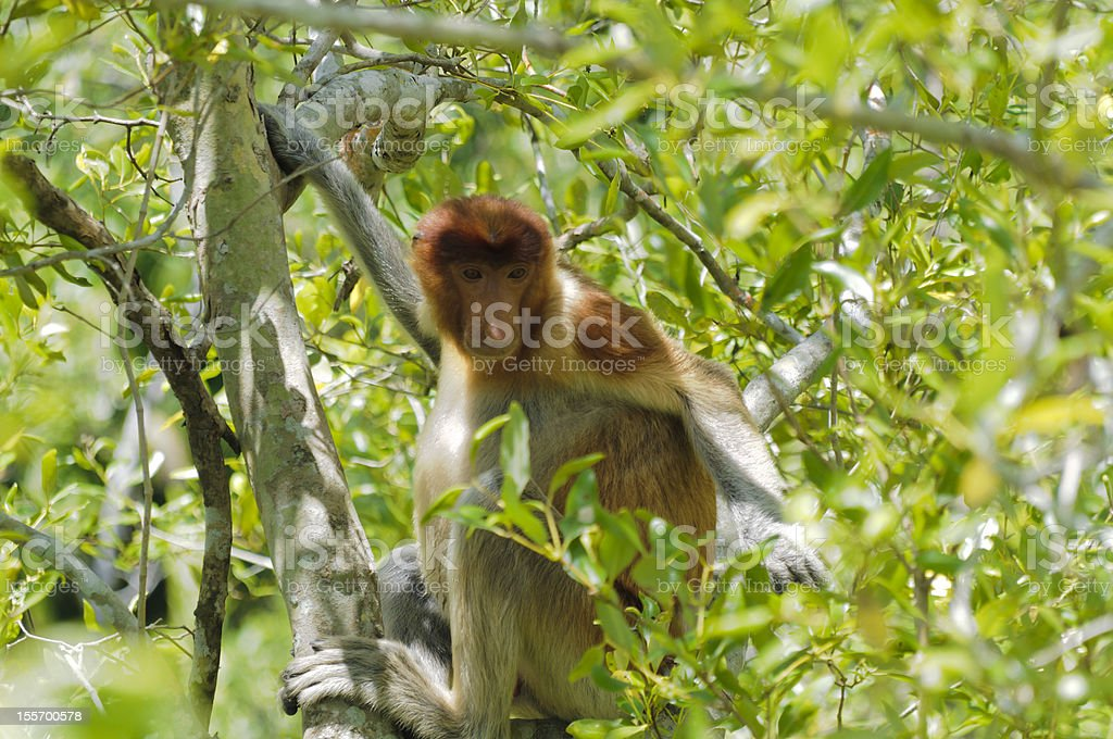 Proboscis monkey, nasalis larvatus royalty-free stock photo