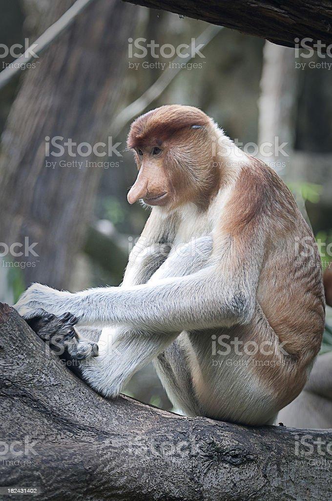 Proboscis Monkey Nasalis larvatus royalty-free stock photo