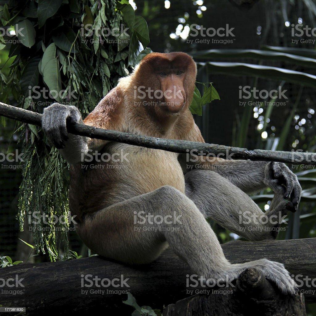 Proboscis Monkey royalty-free stock photo