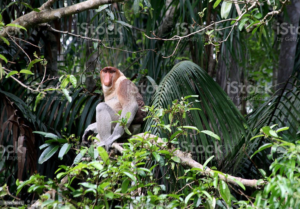 Proboscis Monkey stock photo