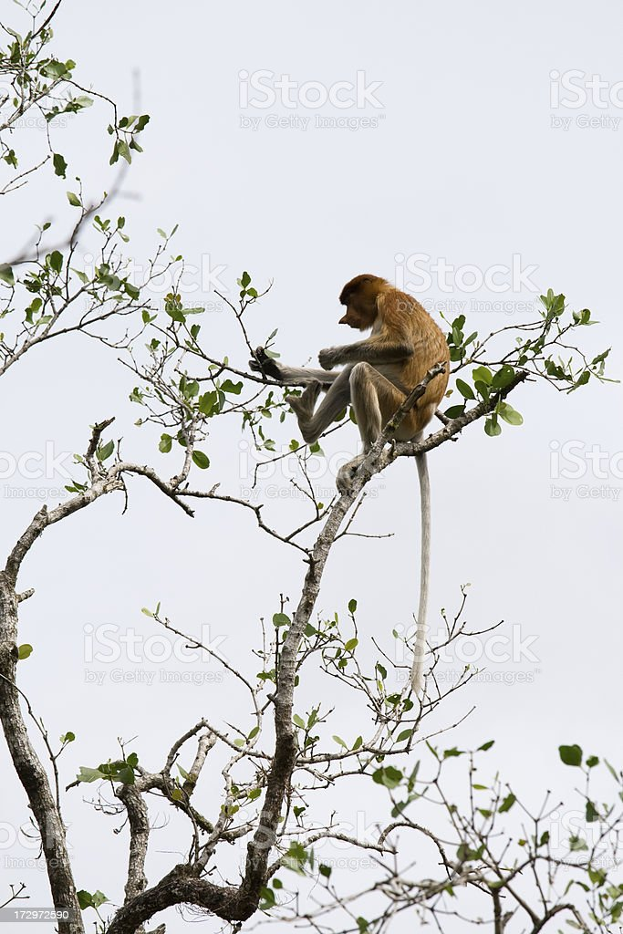 Proboscis monkey profile stock photo