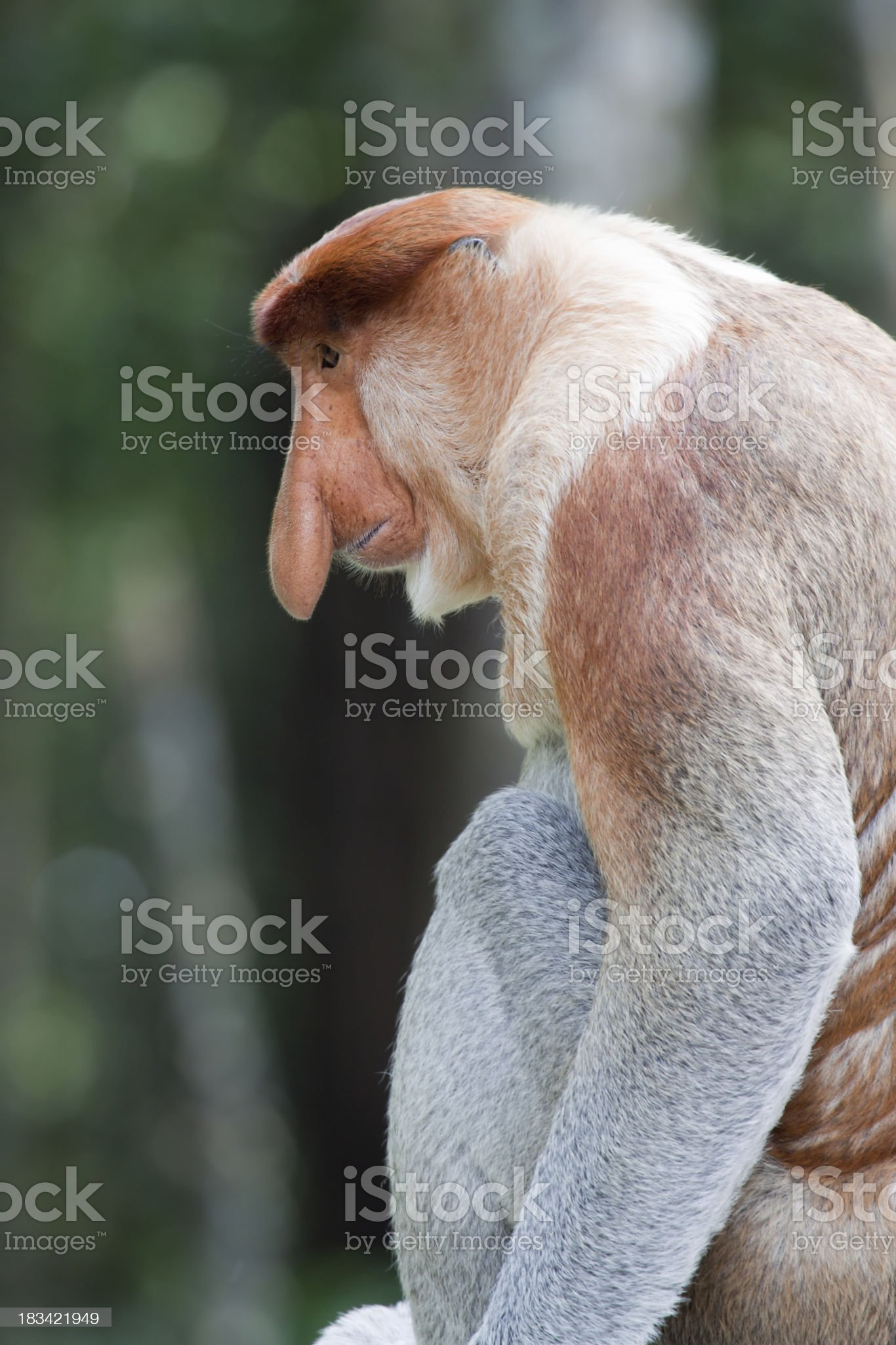 Proboscis monkey profile royalty-free stock photo