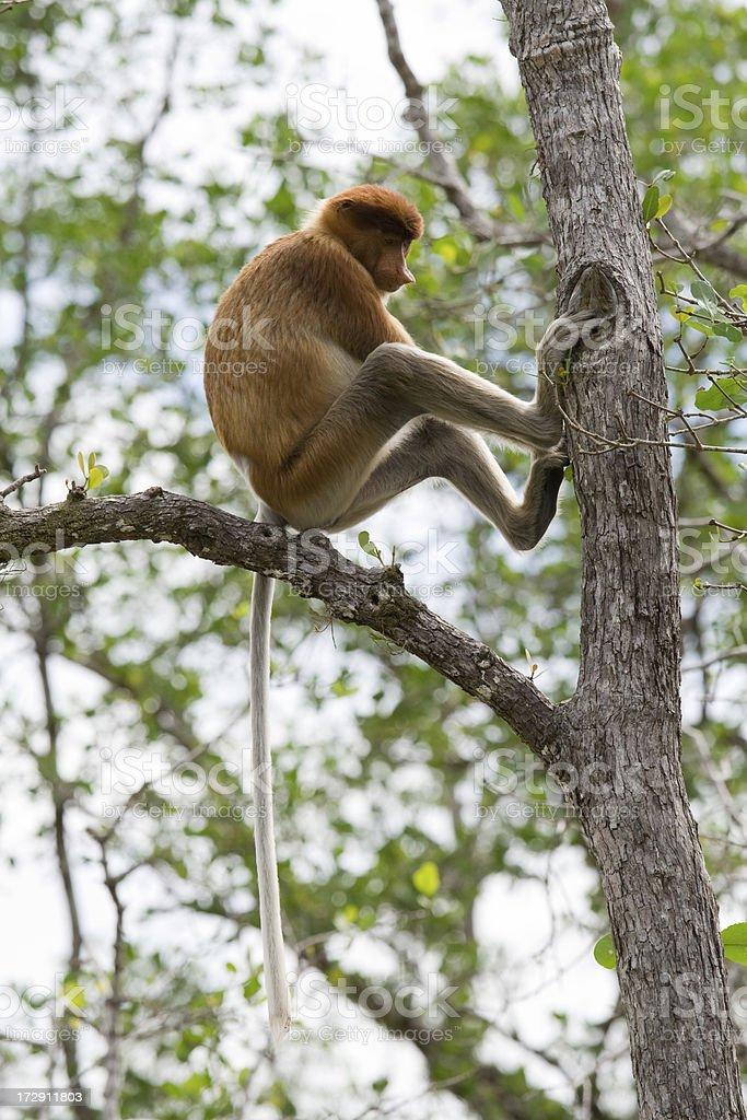 Proboscis monkey sitting in a tree royalty-free stock photo