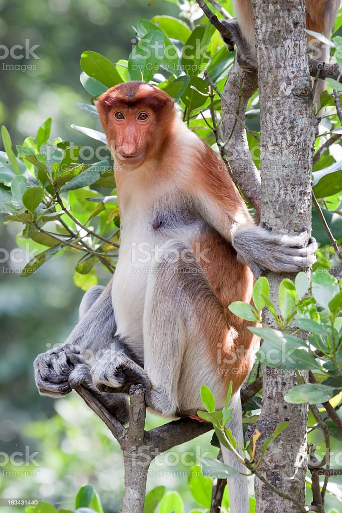 Proboscis monkey sitting on branch of tree stock photo