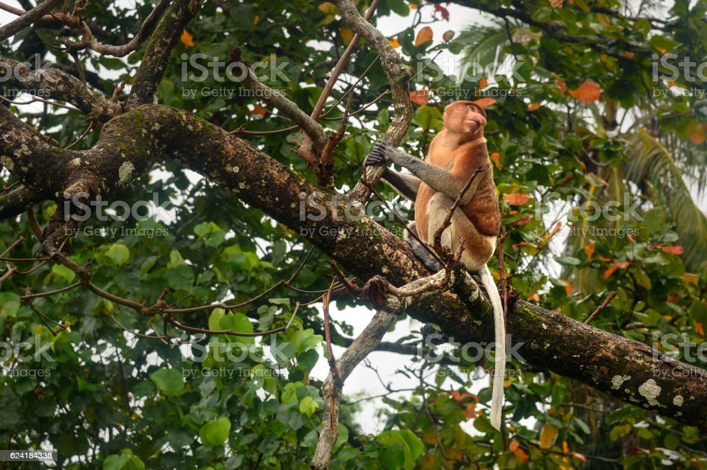 Proboscis Monkey with long nose stock photo