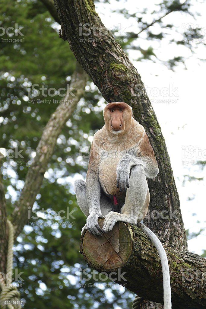 Proboscis monkey with red penis stock photo