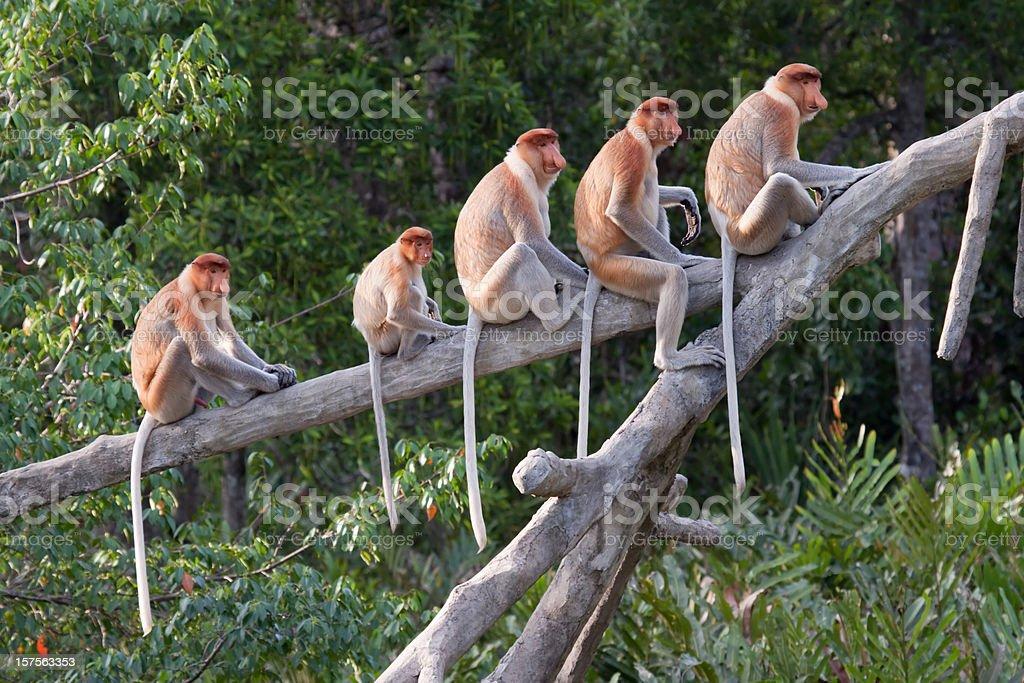 Proboscis monkeys in a row stock photo