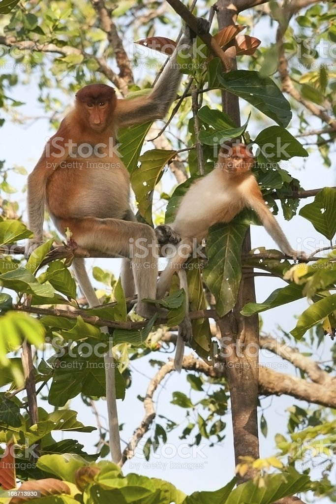 Proboscis Monkeys stock photo