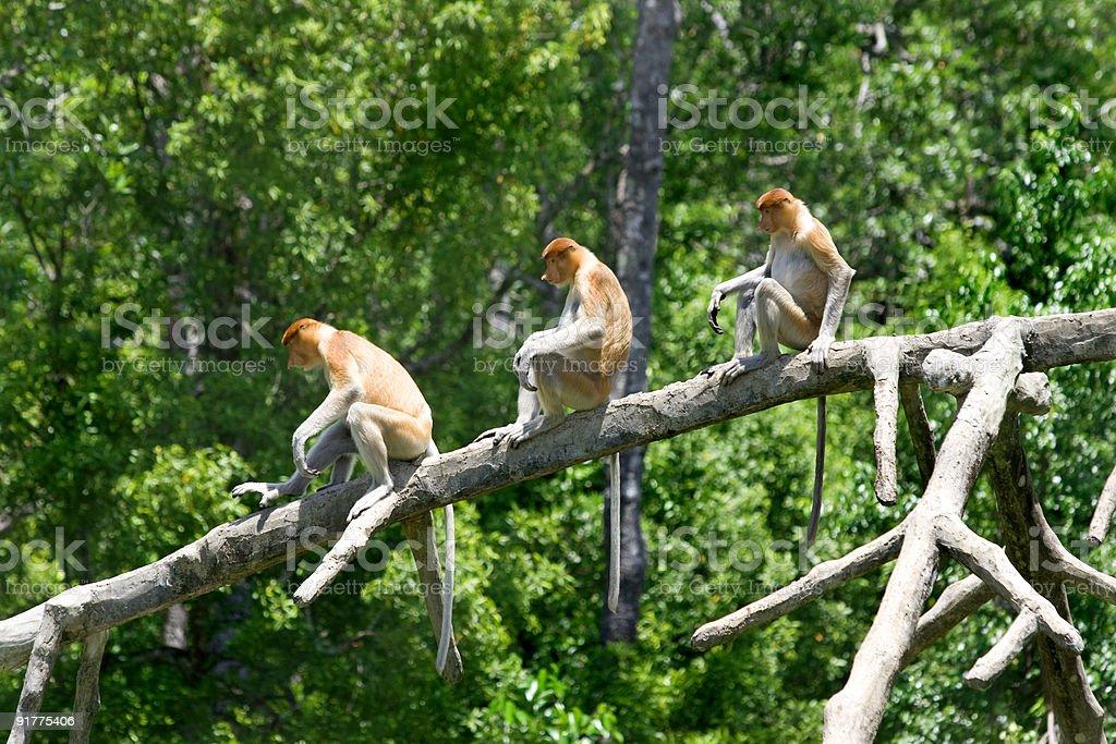 Proboscis monkeys royalty-free stock photo