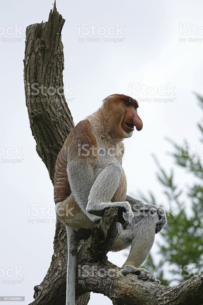 Proboscis or long-nosed monkey stock photo