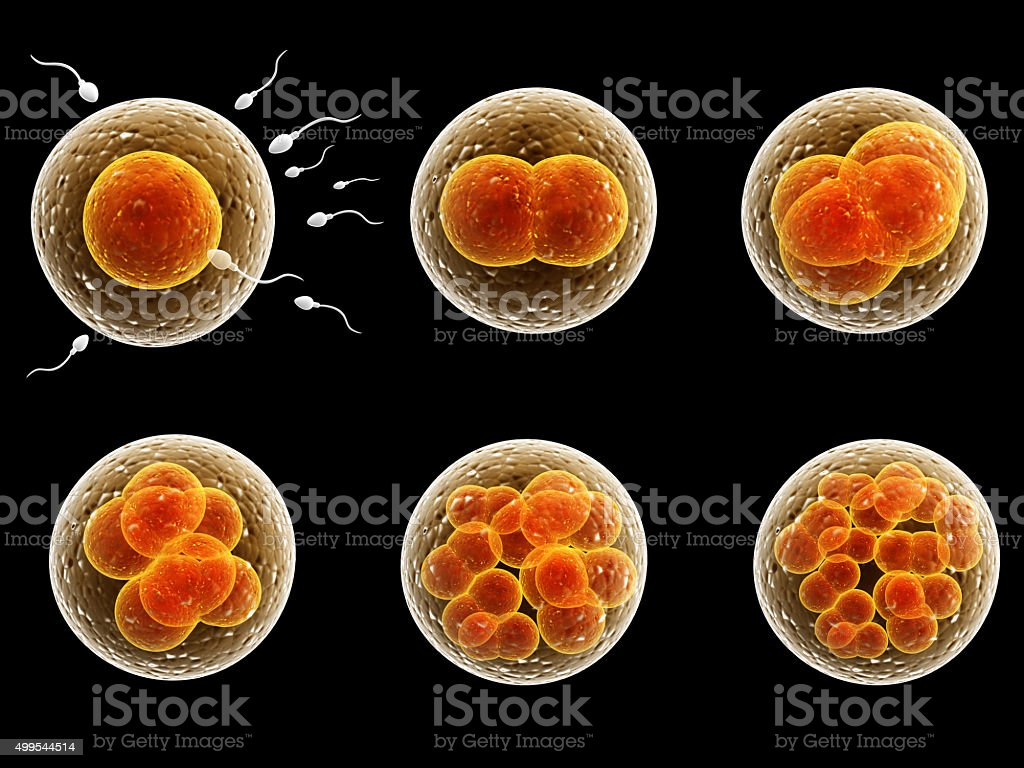 Process division of fertilized cell stock photo