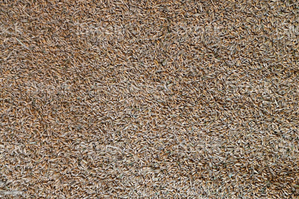 Processed organic wheat grains as agricultural background stock photo
