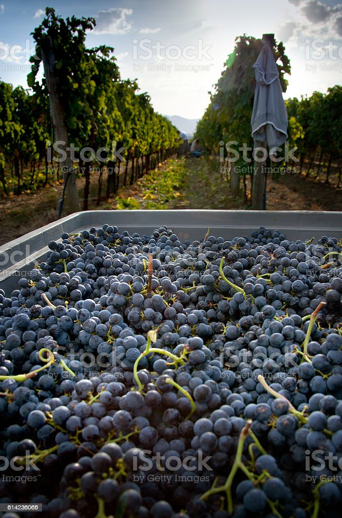 Processing and care of the vineyards stock photo