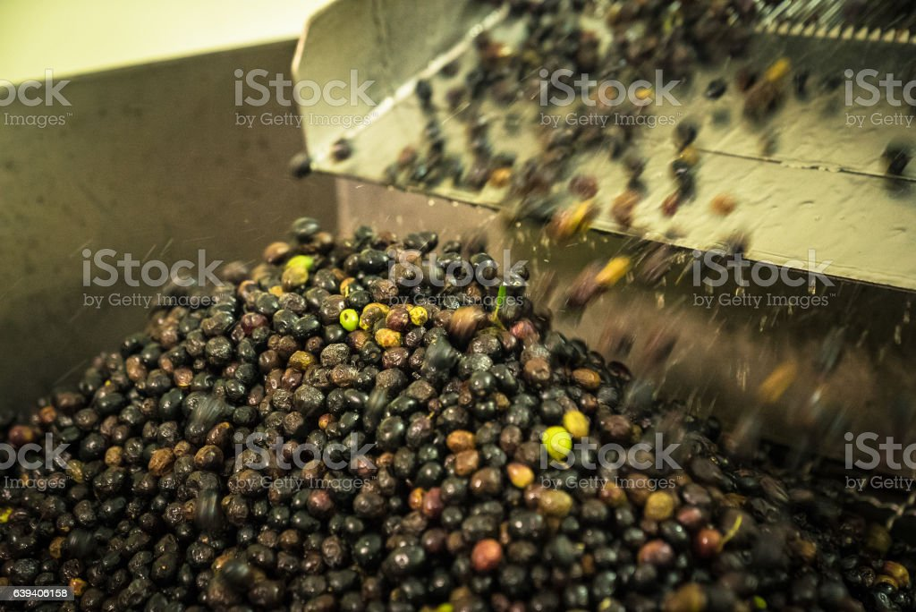Processing of the olives in a  oil mill. stock photo