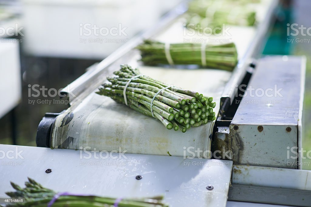 Processing the latest asparagus crop stock photo