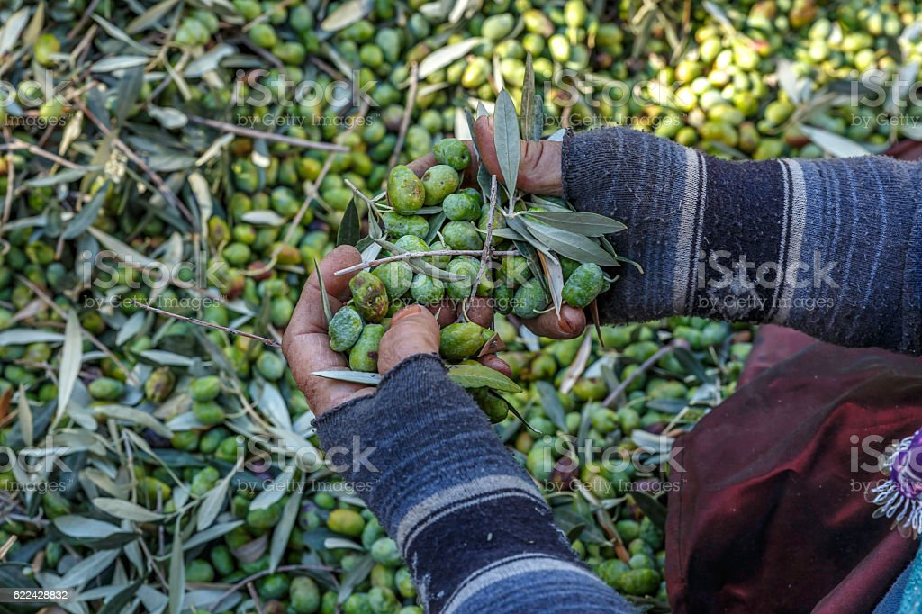 processing the olives by hand stock photo