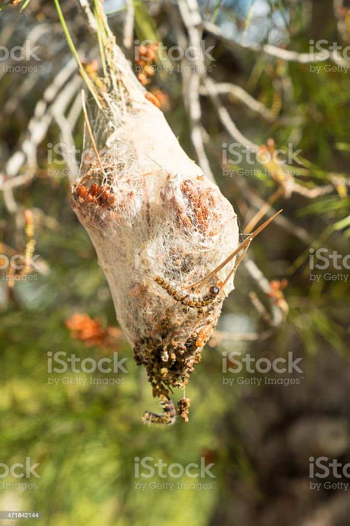 Processionary pest stock photo