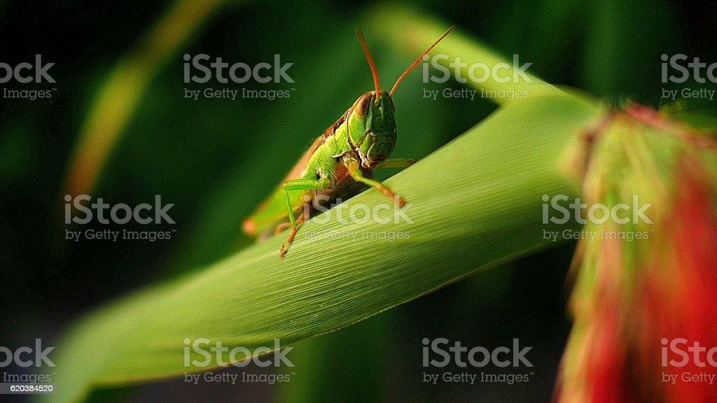 Procumbent grasshopper stock photo